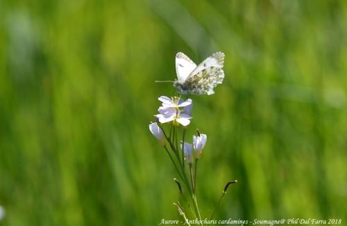 Aurore - Anthocharis cardamines (6)