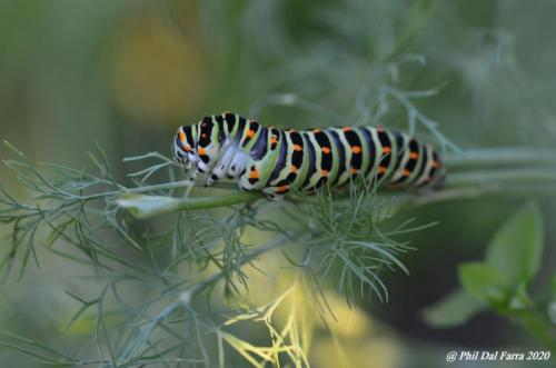 Machaon - chenille sur aneth