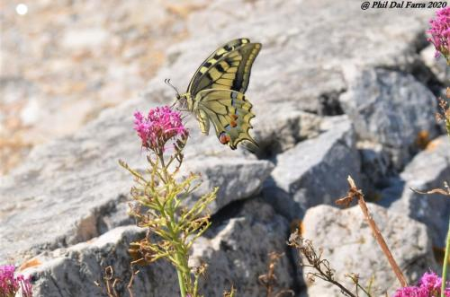 machaon 6
